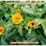 cvijeće iz bakina vrta, neven